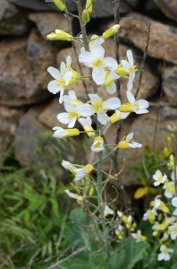 White-&-yellow-flowers